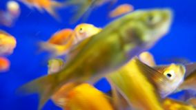 Moion of aquarium fish swimming stock video footage