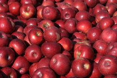 Moisson d'Apple image stock