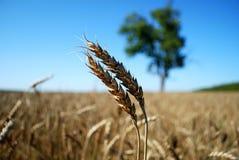 Moisson de blé Photo libre de droits