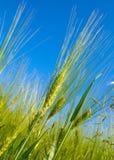 Moisson de blé photo stock