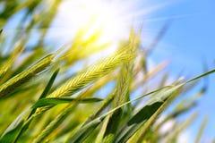 Moisson de blé photographie stock