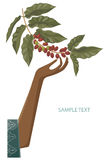 Moisson de café illustration stock