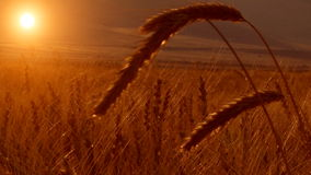 Moisson de champ de blé banque de vidéos