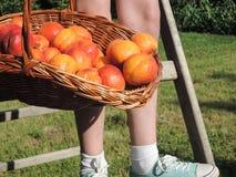 Moisson de l'abricot Photographie stock libre de droits