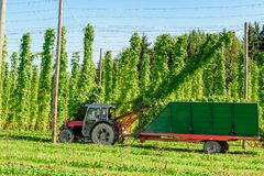 Moisson de l'houblon avec un camion Photos stock