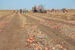 Moisson de l'oignon sur le champ photo libre de droits