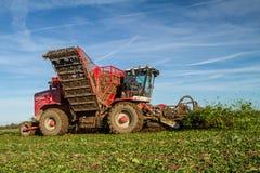 Moisson de la betterave à sucre Images stock