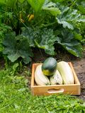 Moisson de la courgette dans le jardin organique Images stock