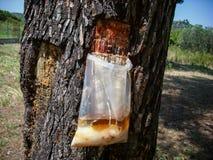 Moisson de la sève de pin dans le sachet en plastique clair Fermez-vous de l'écorce d'arbre Photographie stock libre de droits