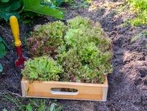 Moisson de la salade de laitue de rosso de Lollo dans le légume organique GA Images libres de droits