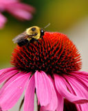 Moisson de nectar Photos stock