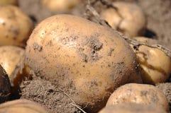 Moisson de pomme de terre Photographie stock libre de droits