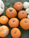 Moisson de potiron Potirons de Veille de la toussaint Fond rustique rural d'automne avec la courge à la moelle Photo stock