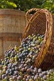 Moisson de raisin Photos libres de droits