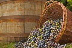 Moisson de raisin Photos stock