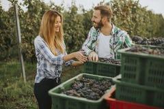 Moisson de raisin dans le vignoble photographie stock libre de droits