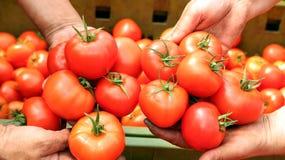 Moisson de tomate Photos libres de droits