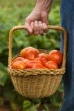Moisson de tomate Image libre de droits