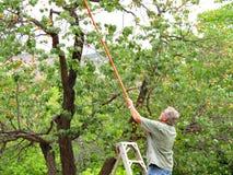 Moisson des abricots photographie stock libre de droits
