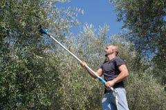 Moisson des olives Photos libres de droits