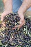 Moisson des olives Photographie stock libre de droits