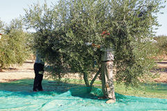 Moisson des olives Photos stock