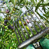 Moisson des olives d'arbequina dans un verger olive en Catalogne, Spai Photo libre de droits