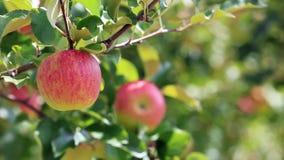 Moisson des pommes dans le champ de pommiers banque de vidéos