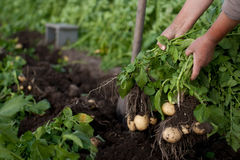 Moisson des pommes de terre image libre de droits