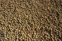 Moisson des pommes de terre sur le champ Récolte ukrainienne de pomme de terre Image stock