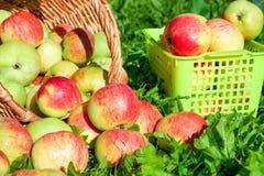 Moisson des pommes pendant l'automne photographie stock