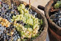 Moisson des raisins photos stock