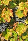 Moisson des raisins Photos libres de droits