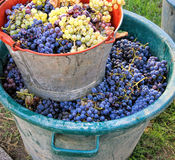 Moisson des raisins image stock
