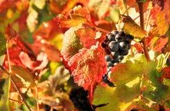 Moisson des raisins photo stock