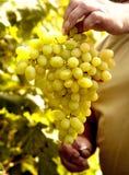 Moisson des raisins. Cru. l'Ukraine Photographie stock