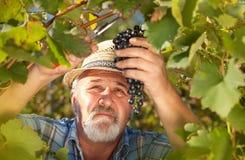 Moisson des raisins dans le vignoble Photo libre de droits