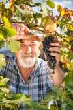 Moisson des raisins dans le vignoble Photographie stock