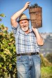 Moisson des raisins dans le vignoble Image libre de droits