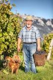 Moisson des raisins dans le vignoble Images libres de droits