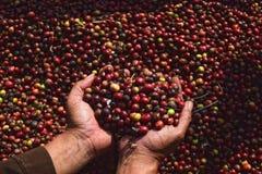 Moisson du CAFÉ en INDONÉSIE Image libre de droits