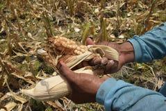 Moisson du maïs Image libre de droits