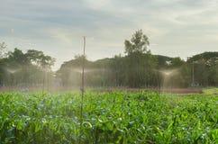 Moisson du maïs, arrosant Image libre de droits