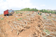 Moisson du manioc Photographie stock libre de droits