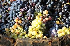 Moisson du raisin Image stock