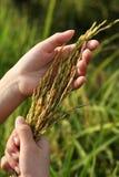 Moisson du riz pour la nourriture Photo libre de droits
