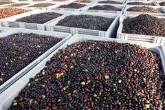 Moisson olive Photos stock