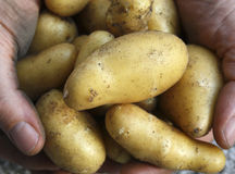 Moisson Potatos Images stock