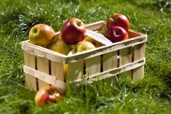 Moisson riche de belles pommes Photos stock