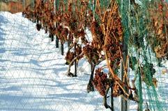 Moisson tardive de raisin dans la neige Images libres de droits